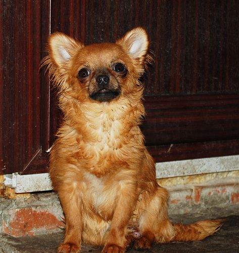 http://www.chihuahua-spitz.ru/images/stories/dogs/c13.jpg