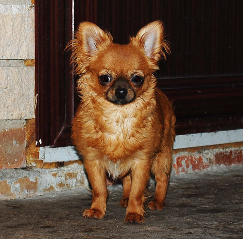 http://www.chihuahua-spitz.ru/images/stories/dogs/c15.jpg
