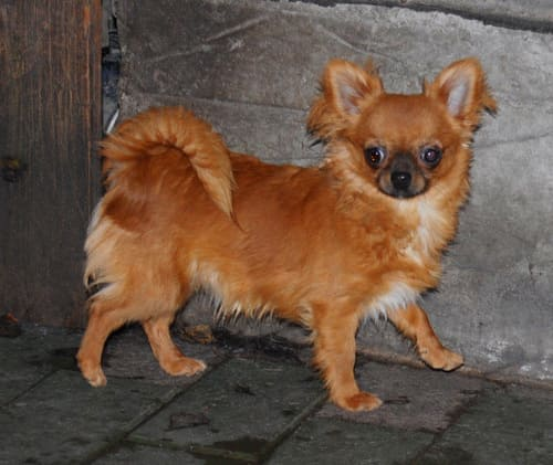 http://www.chihuahua-spitz.ru/images/stories/dogs/ch%2024.jpg