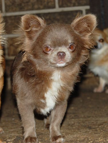 http://www.chihuahua-spitz.ru/images/stories/dogs/l24.jpg