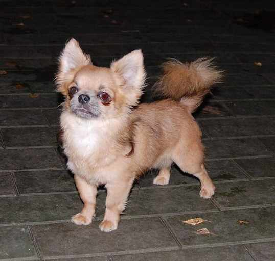 http://www.chihuahua-spitz.ru/images/stories/dogs/savik/230.jpg