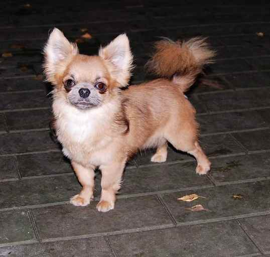 http://www.chihuahua-spitz.ru/images/stories/dogs/savik/231.jpg