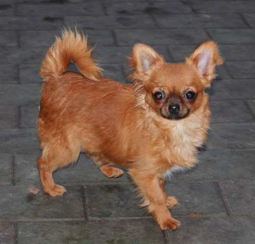 http://www.chihuahua-spitz.ru/images/stories/dogs/savik/ch%20main.jpg
