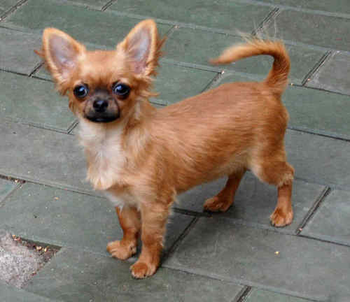 http://www.chihuahua-spitz.ru/images/stories/dogs/savik/ch15.jpg