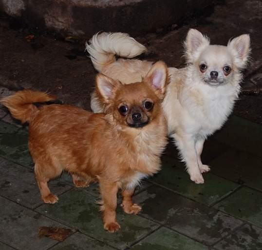 http://www.chihuahua-spitz.ru/images/stories/dogs/savik/dve.jpg