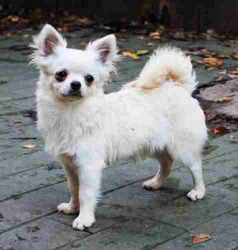 http://www.chihuahua-spitz.ru/images/stories/dogs/savik/ted7.jpg