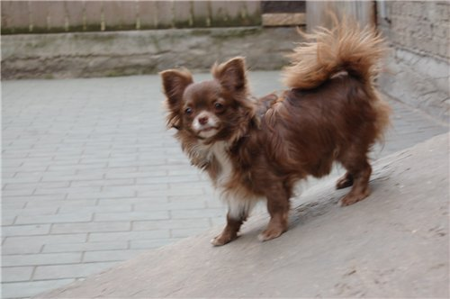 http://www.chihuahua-spitz.ru/images/stories/pedegree/sh17.jpg