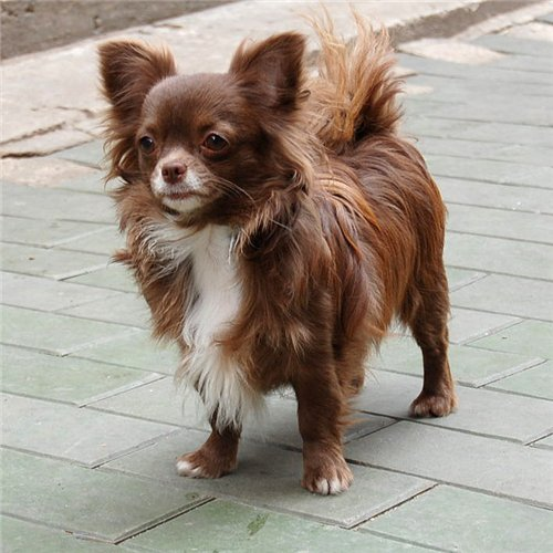 http://www.chihuahua-spitz.ru/images/stories/pedegree/shmain.jpg